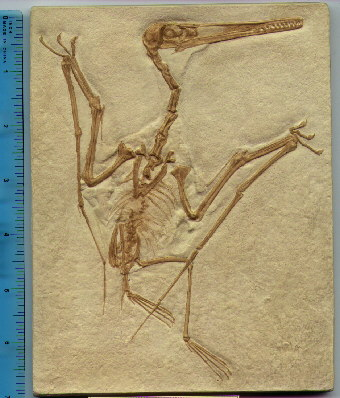 Figure 2. Pterodactyl cast