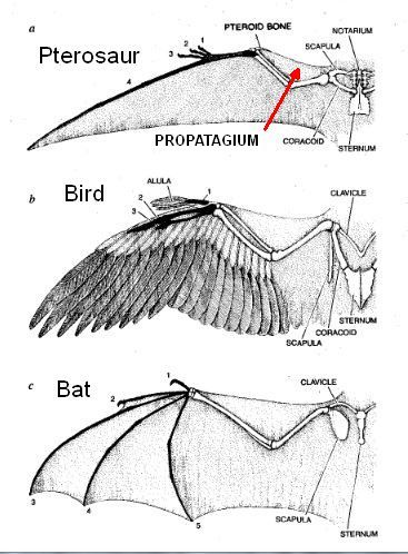 <I>Fig. 14b. Pterosaur, bird, and bat wings compared