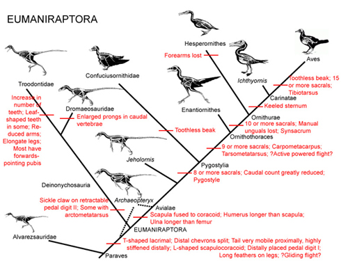 Bird evolution diagram