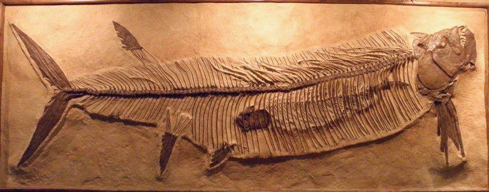 xiphactinus skeleton
