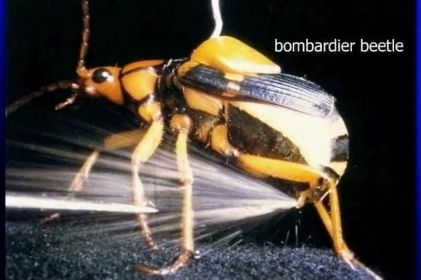 """bombardier-beetle"""""""