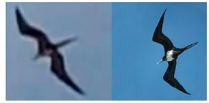 Frigate bird mistaken for pterosaur