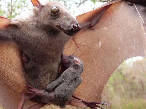 Hammerheaded bat