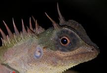 <I>Acanthosaura</I> lizard