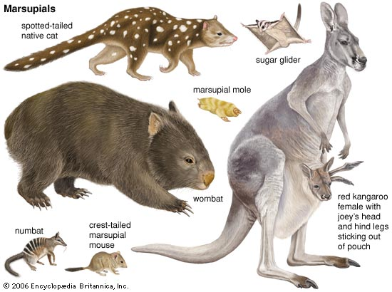 Marsupial Distribution Refutes YECism