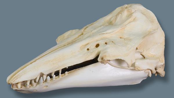 Beluga skull