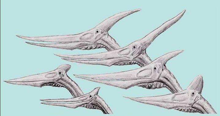 Pteranodon heads