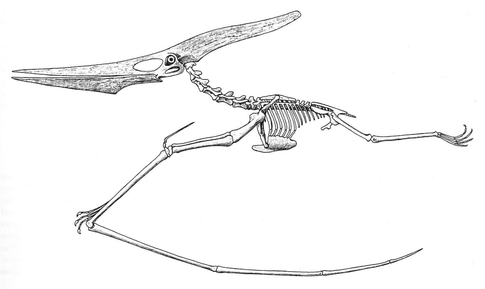 <I> Fig. 3a. Pterosaur longiceps</I> reconstruction