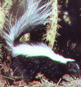 """skunk"""""""