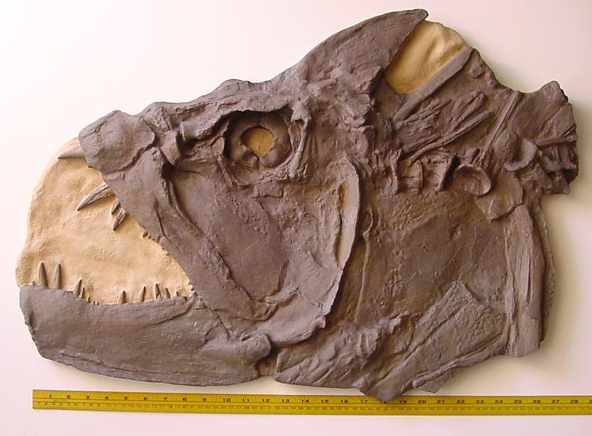 xiphactinus head