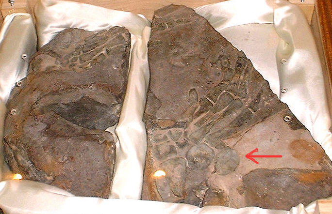 alleged Cretaceous hand bones