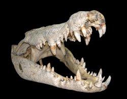 croc-skull