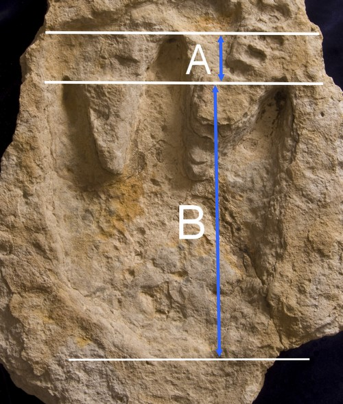 Delk Dino track showing digit ratio
