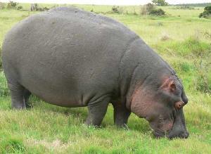 hippo_grazing