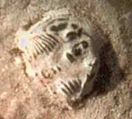 Close-up of trilobite