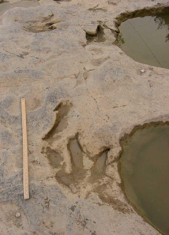 Sauropod Tracks theropod  amp sauropod tracks