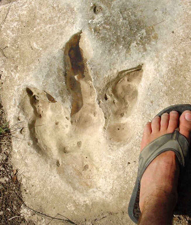 theropod track